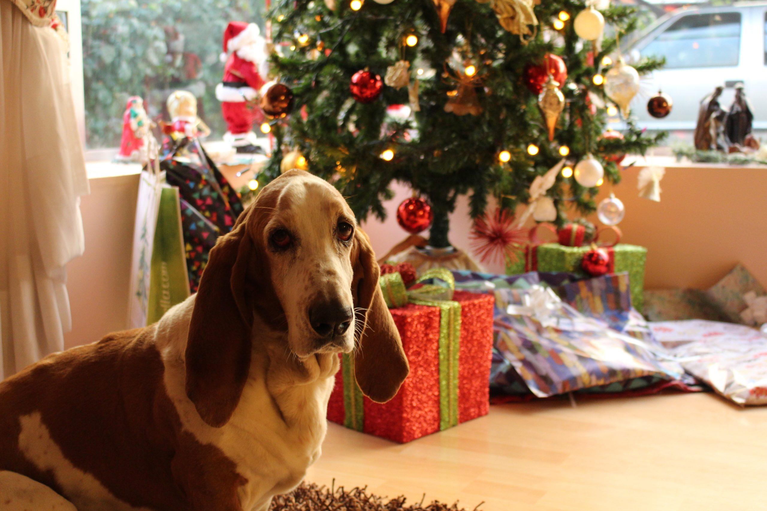 tan-and-white-basset-hound-near-the-christmas-tree-754491